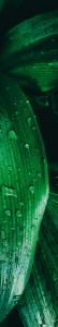 (credit: Maisa Borges) Green Leaves Water Droplets