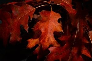 (credit skitterphoto) red and orange fall leaves